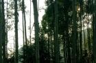大量收购安树 如有的请联系我19142769855