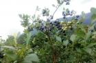 蓝莓出售需要的朋友们请联系自己,