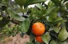 砂糖橘,联系电话13397878701
