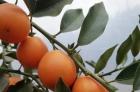 """80万杯金桔种苗在售!融水富恒农业长期供应优质""""脆蜜金桔""""种苗"""