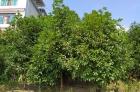 四季桂花樹