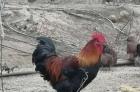 散养土公鸡