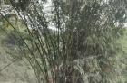 大量杂竹出售