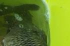 纯野生的贝江鱼