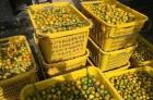 老爸种的滑皮金桔,非常甜,打农药也少,自产自销