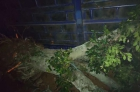 小叶  榕树低价处理  直径40厘米左右