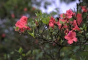 雨天看杜鹃花,别有一番风味!