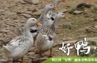 融水贝江村香鸭蛋欢迎批发零售