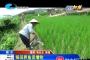 稻田养鱼促增收