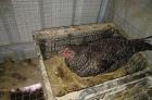 野养下蛋芦花土鸡30块一斤