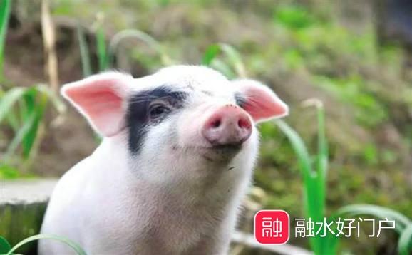 生猪一只.jpg